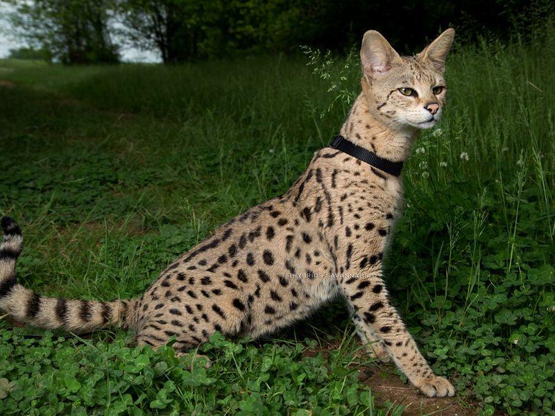 Savannah Kucing Termahal di Dunia