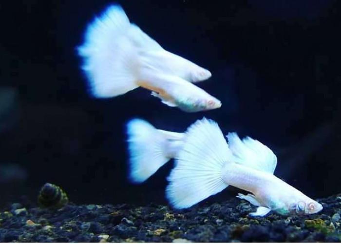 Merawat ikan guppy