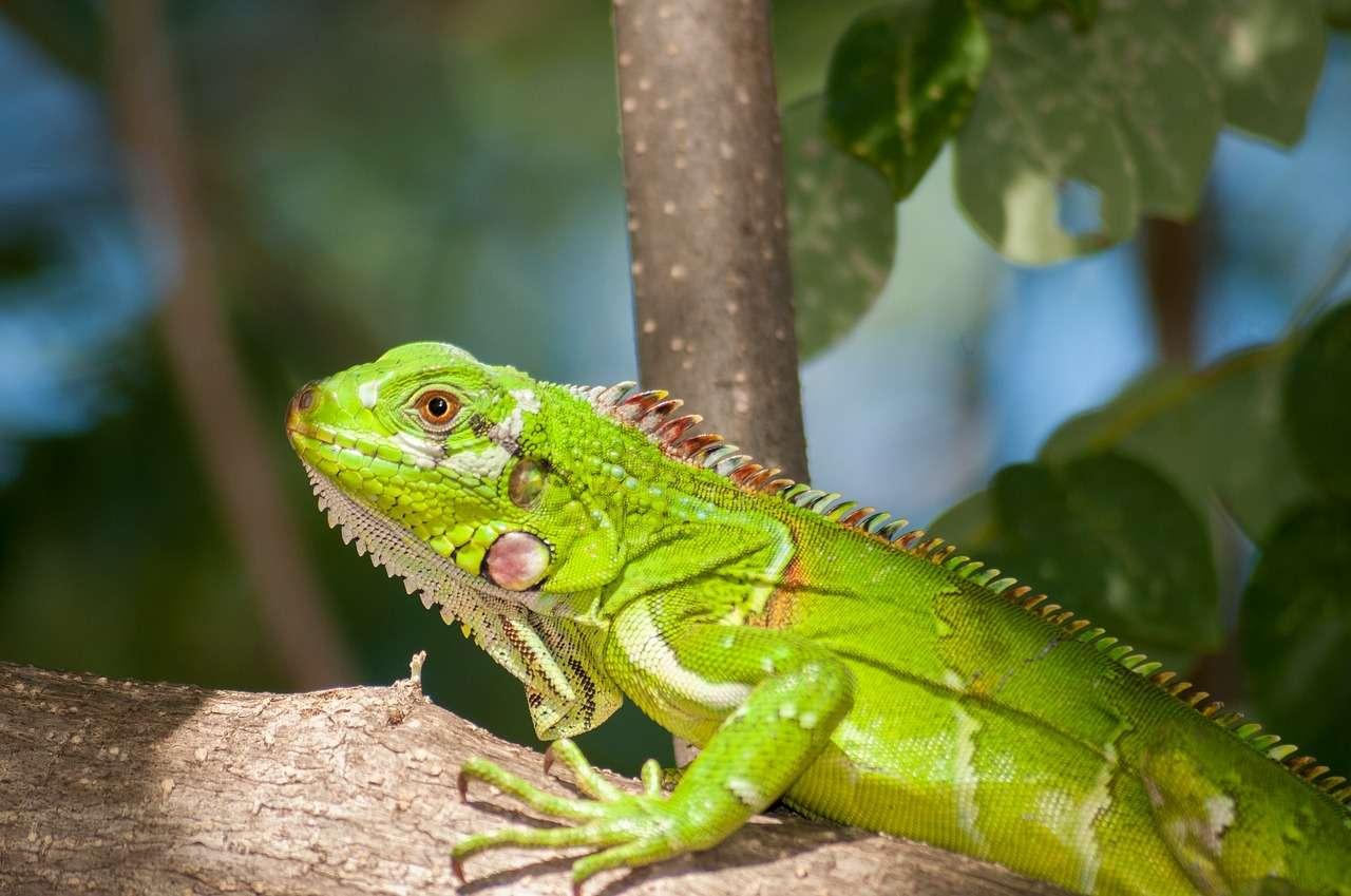 Beberapa Fakta Tentang Iguana