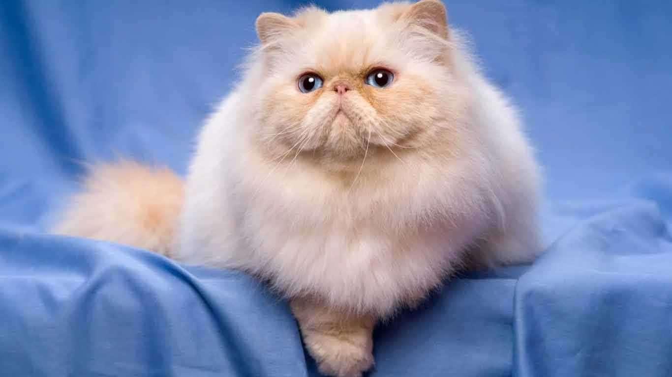 Cara Merawat Kucing Persia Agar Sehat