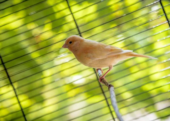 Hal Penting Sebelum  Memelihara Burung Kenari