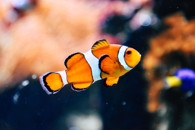 Cara merawat ikan badut