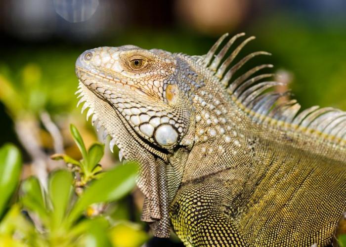 Makanan Iguana Hijau agar Tetap Sehat